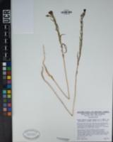 Clarkia purpurea image