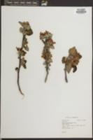 Image of Pyrus floribunda