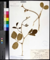 Canavalia rosea image