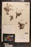 Eriogonum turneri image