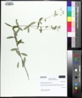 Image of Euphorbia pubentissima