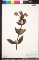 Achetaria azurea image