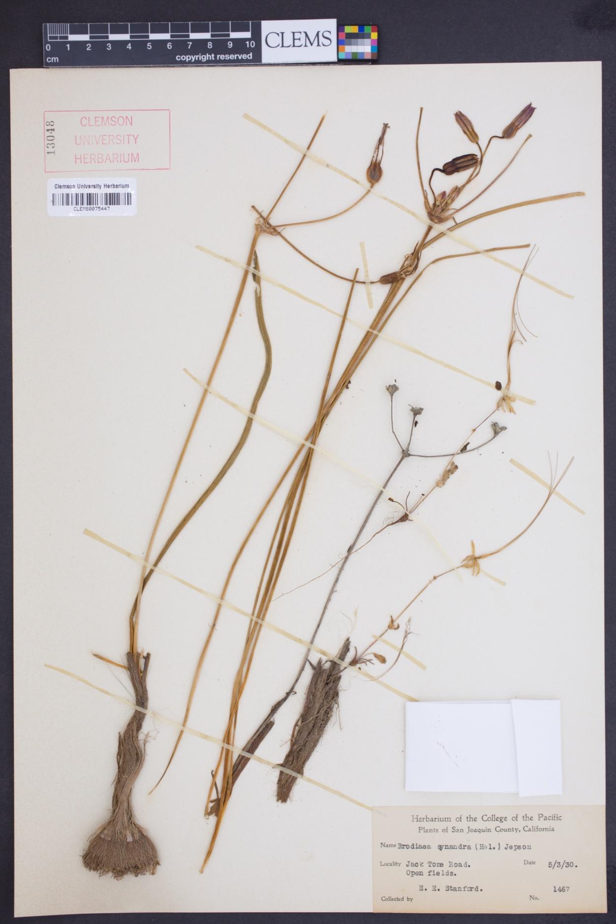 Brodiaea synandra image