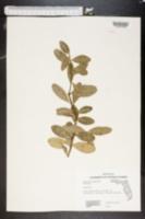 Severinia buxifolia image