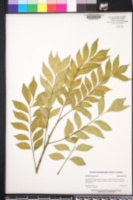 Spondias purpurea image