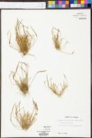 Myosurus minimus image
