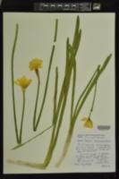 Narcissus × incomparabilis image