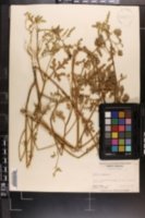 Hibiscus trionum image