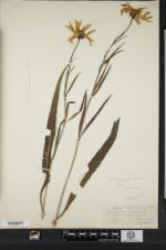 Helianthus kellermanii image