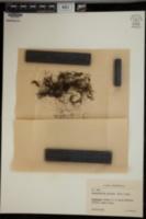 Hymenophyllum peltatum image