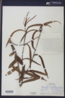 Stillingia sylvatica subsp. sylvatica image