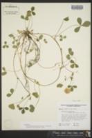 Image of Trifolium calcaricum