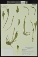 Ottelia alismoides image