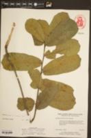 Image of Quercus cravenensis