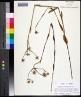 Image of Eryngium ludovicianum