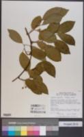 Kadsura japonica image