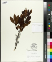 Image of Myrica caroliniensis