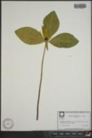 Trillium oostingii image