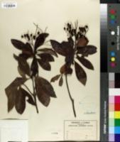 Image of Icacorea paniculata