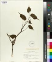 Image of Begonia udisilvestris