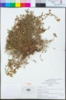 Acmispon prostratus image