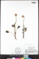 Packera greenei image