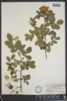 Rosa williamsii image