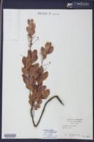 Gaylussacia frondosa image