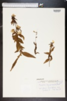 Kneiffia longipedicellata image