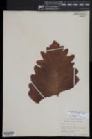 Aglaomorpha quercifolia image