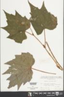Begonia palmata image