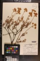 Eriogonum umbellatum var. vernum image