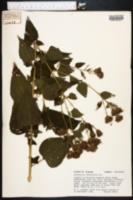 Image of Brickellia cordifolia