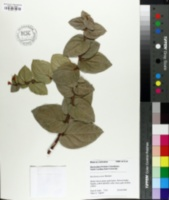 Image of Macleania ericae