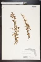 Image of Prunus geniculata