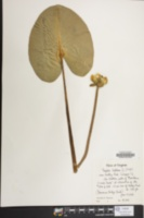 Nuphar advena image