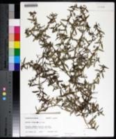 Oldenlandia corymbosa image