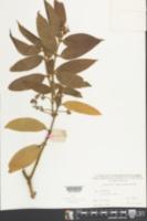 Image of Cinnamomum appelianum