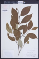 Image of Lindera reflexa