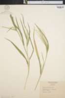 Image of Panicum gattingeri