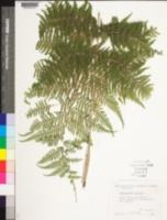 Image of Maxonia apiifolia