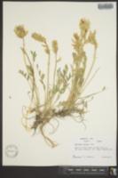 Oxytropis sericea image