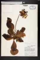 Image of Sarracenia rosea