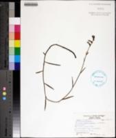 Image of Lobelia glandulosa