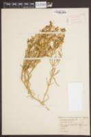 Image of Spergularia macrotheca