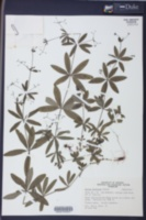 Galium triflorum image