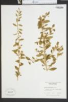 Lycium barbarum image