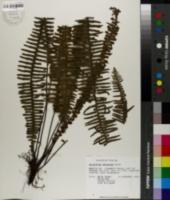 Image of Polypodium dispersum