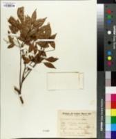 Allophylus edulis image