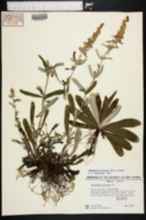 Gamochaeta coarctata image